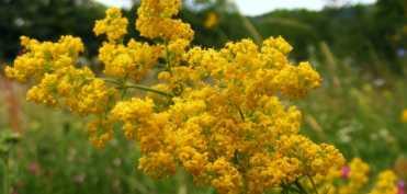 Sanzienele - planta ce ne pune in legatura cu sanzienele si care alunga cancerul