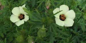 Zamosita (Hibiscus trionum)