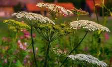 Medicina dacilor - Plante medicinale utilizate
