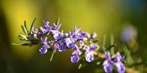 Rozmarinul ajuta la vindecarea cancerului de san cauzat de excesul de estrogen