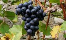 Legumele si fructele negre contin cel mai puternic antioxidant (RESVERATROL)